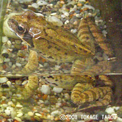 Montane Brown Frog, Ueno Zoo