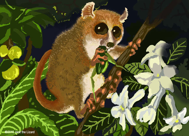 Madame Berth's mouse lemur