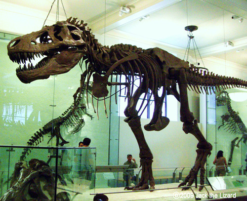 Whole body of T.rex, America Museum of Natural History