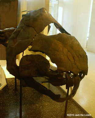 the head of Duncleosteus, America Museum of Natural History