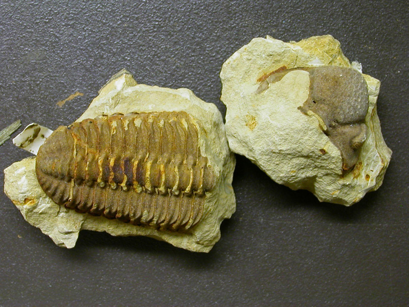New specimen of Viaphacops
