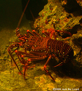 Japanese spiny lobster, Tokyo Sea Life Park